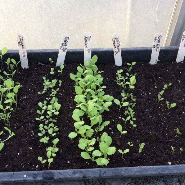 when the seedlings emerge ...