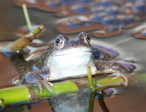 contented frog