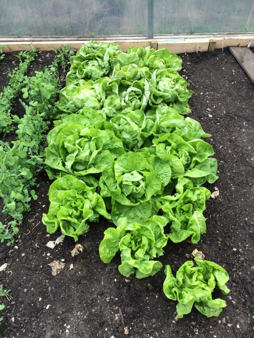Hearting lettuce in the polytunnel