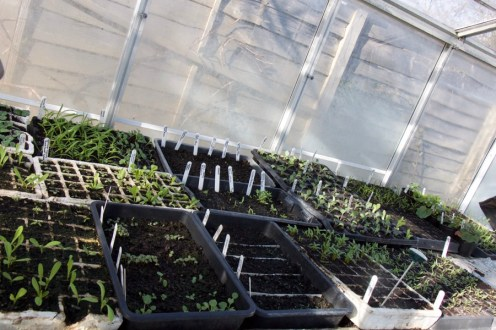 Some of the seedlings in my greenhouse