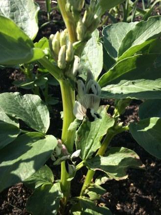 overwintered broad bean
