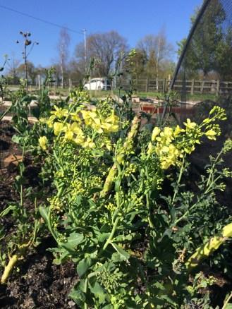 flowering brassicas