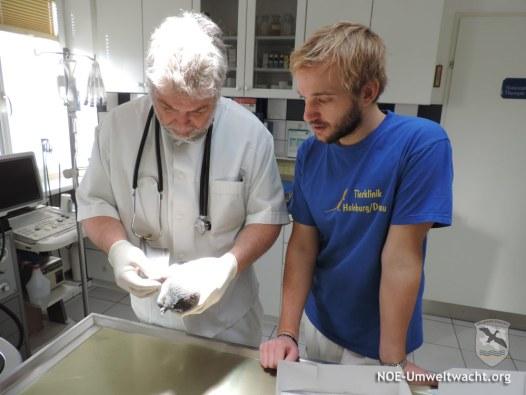 Tierarzt Mag. Christian Hofmann und Sohn Cand. med. vet. Mathias Hofmann untersuchten die verletzte Taube   Foto: NOE-Umweltwacht.org