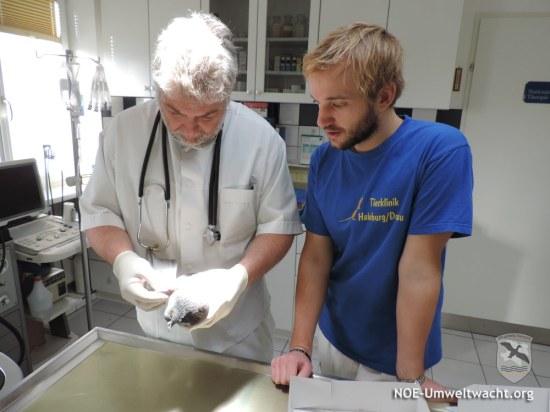 Tierarzt Mag. Christian Hofmann und Sohn Cand. med. vet. Mathias Hofmann untersuchten die verletzte Taube | Foto: NOE-Umweltwacht.org