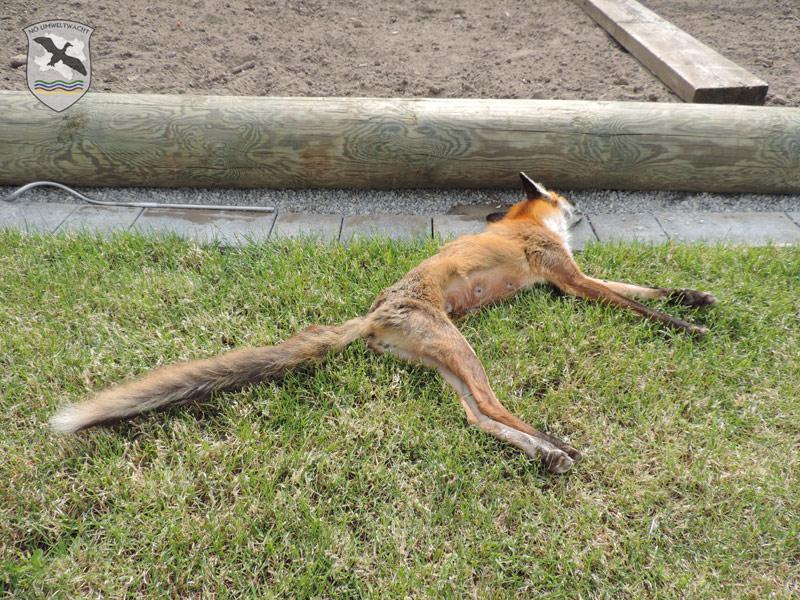 Einsatz wegen eines tödlich erkrankten Fuchses