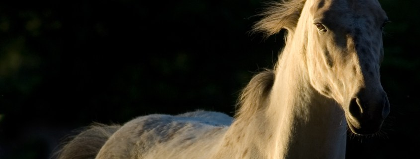 https://pixabay.com/en/horse-nature-free-white-horse-2030974/
