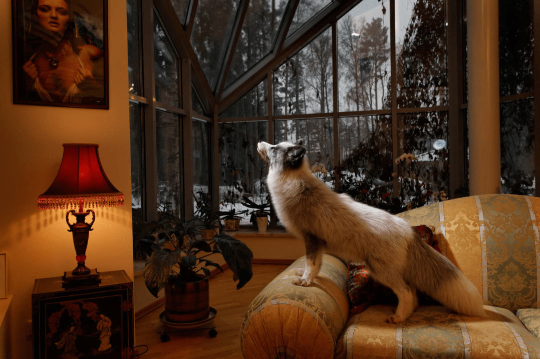 A Dog's Life Alisa, one of two Novosibirsk foxes living as pets in a wealthy home outside St. Petersburg, is friendly with her human companions and with the family's yellow Labrador too. Photograph by Vincent J. Musi
