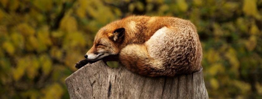 https://pixabay.com/en/fox-sleeping-resting-relaxing-red-1284512/