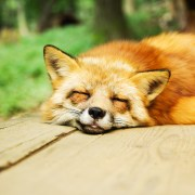 https://pixabay.com/en/animal-fox-cute-sleeping-sleep-967657