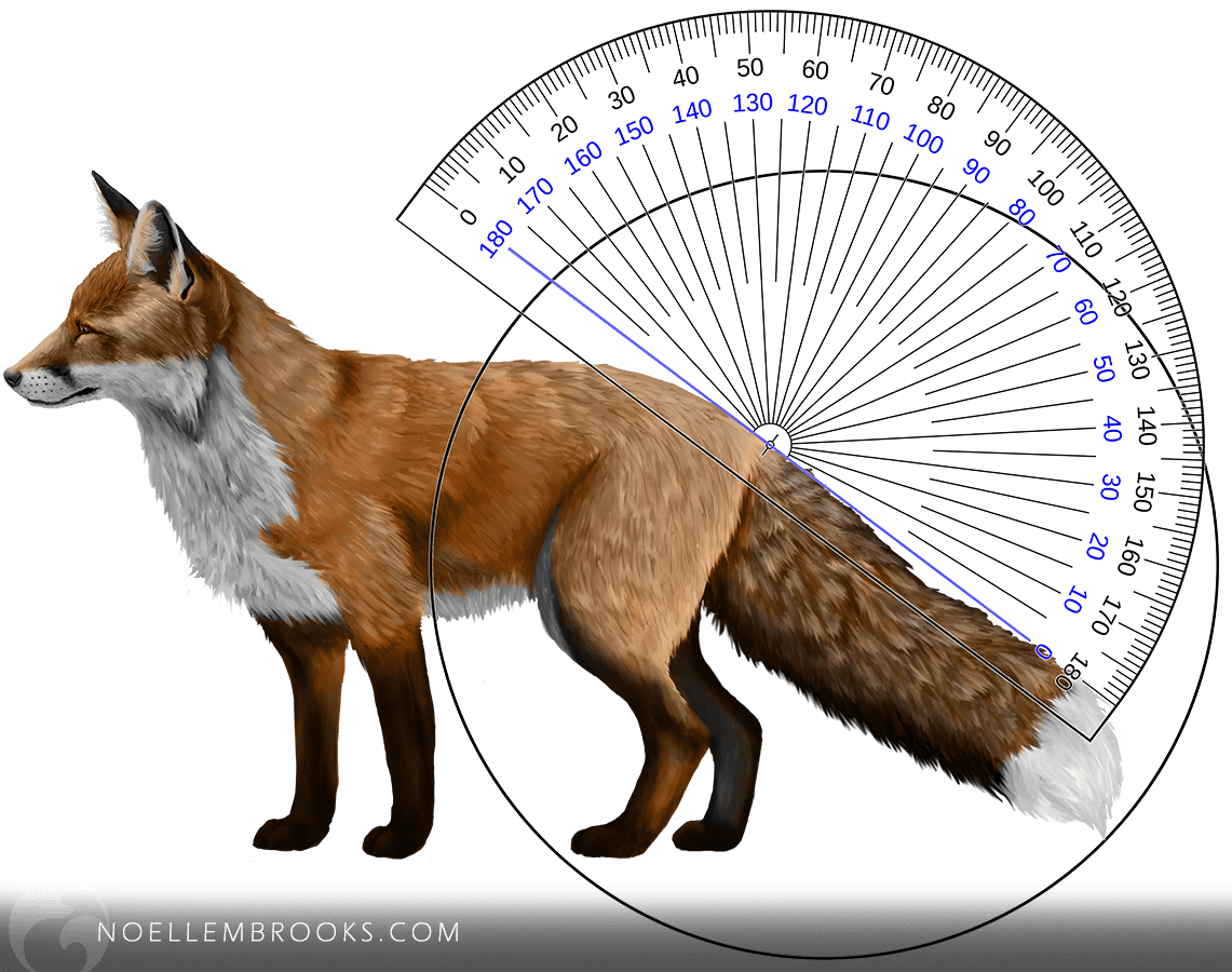 Wild Red Fox Tail Curl Angle Calculation