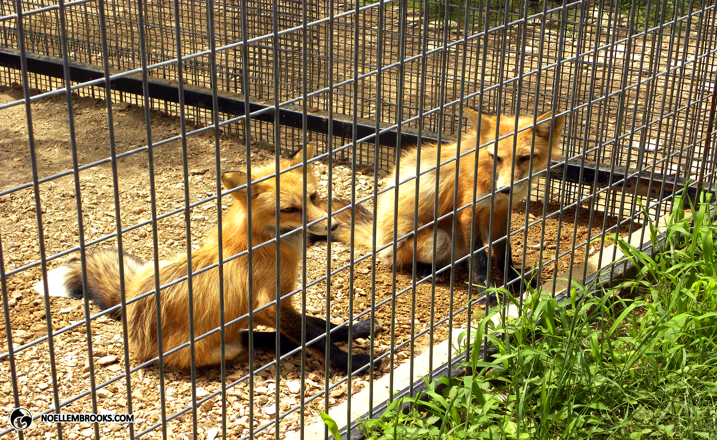 Mikhail and Nikolai the Red-Colored, Domesticated Red Foxes