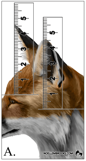 Red Fox Ear Curl Calculations - A