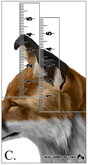 Red Fox Ear Curl Calculations - C