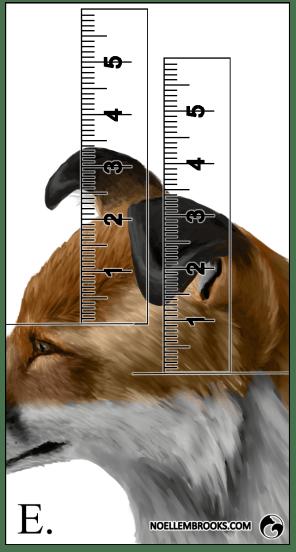 Red Fox Ear Curl Calculations - E