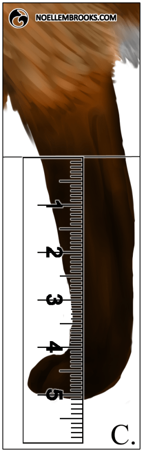 Red Fox Leg Length Calculations - C