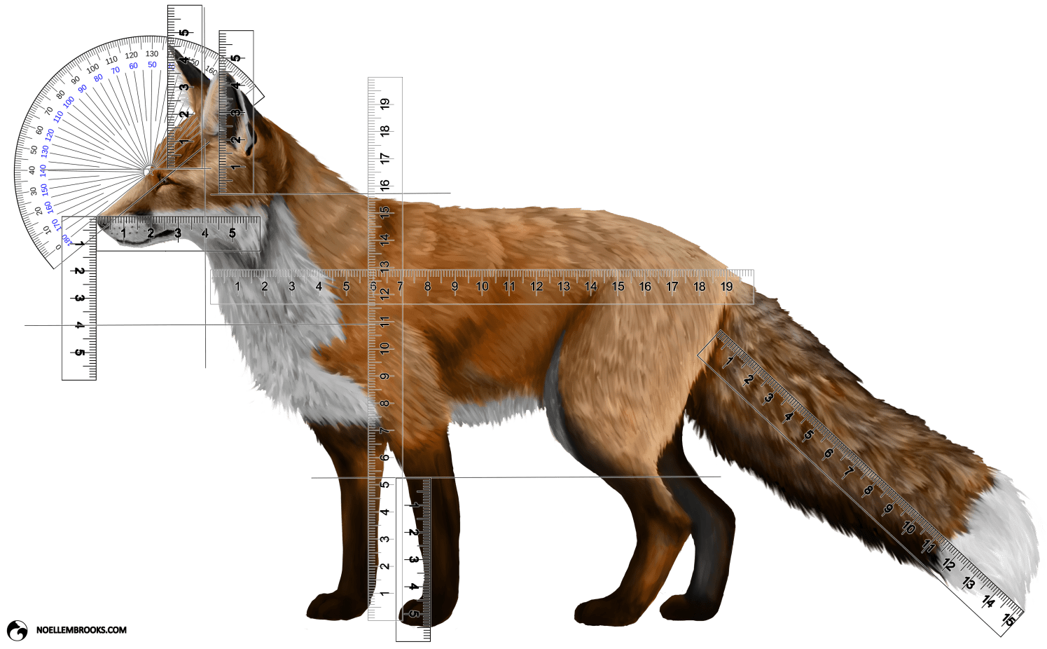 Wild Red Fox Stop Angle and Body Part Length Calculations