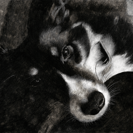 eskimo sheltie, dog, dogs, puppy, puppies, shelties, lying down, close-up, close up, face, charcoal, charcoals, charcoal pencil, charcoal pencils, realism, realistic, gradient, animal, animals, pet, pets, cute, achromatic, black and white, black, white, grey, gray, cream, creme, beige, noelle, noelle brooks, noellebrooks, noelle m brooks, noellembrooks, art, series, drawing, drawings, illustration, illustrations, portrait, portraits, picture, pictures,