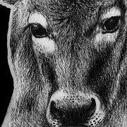 cow, cattle, front, face, close-up, close up, scorpion, scorpions, black emperor scorpion, tail up, full body, full-body, ink, inks, pen, pens, ballpoint pen, ballpoint pens, realism, realistic, animal, animals, wildlife, nature, achromatic, black and white, black, white, grey, gray, noelle, noelle brooks, noellebrooks, noelle m brooks, noellembrooks, art, series, drawing, drawings, picture, pictures, illustration, illustrations, portrait, portraits