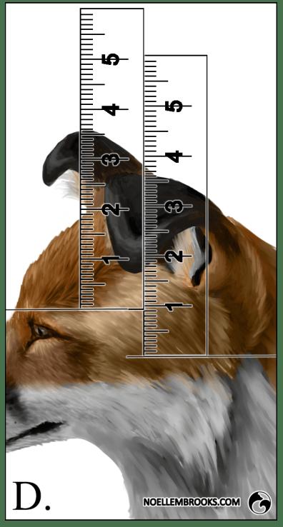 Red Fox Ear Curl Calculations - D