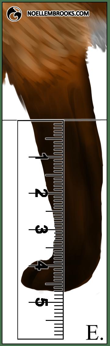 Red Fox Leg Length Calculations - E