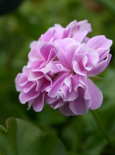 ruffle geranium