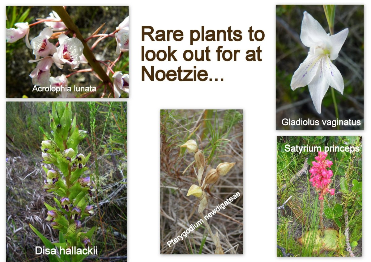 Rare wild flowers to look out for at Noetzie