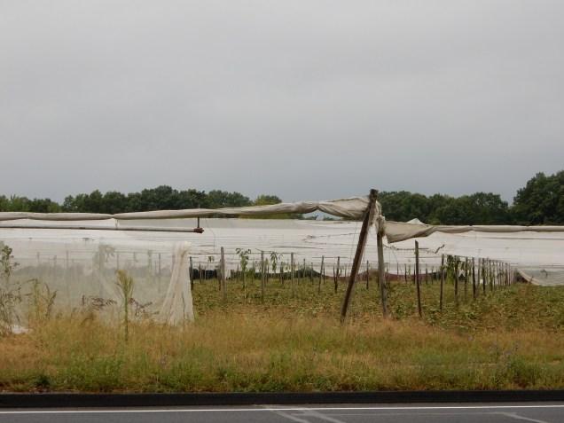 Shade tobacco field