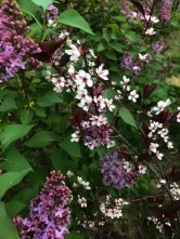 Lilacs and Sand Cherries. On the perimeter walk with Maddie.