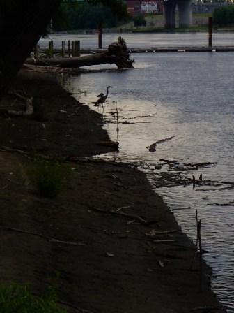 Blue Heron looking for breakfast.
