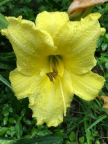 One of our storm-drenched day lilies