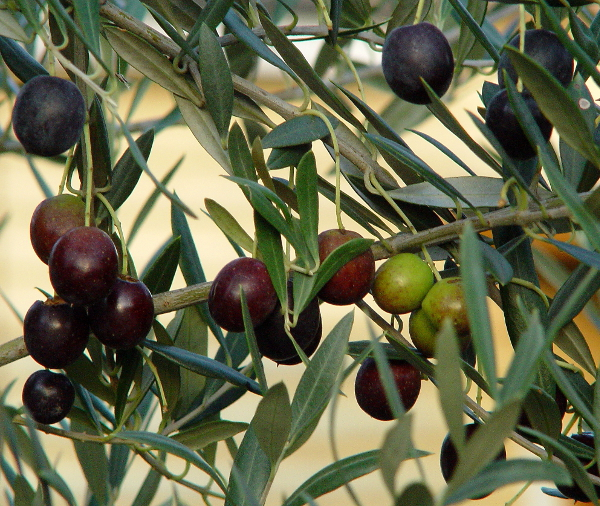 olives-near-benalla