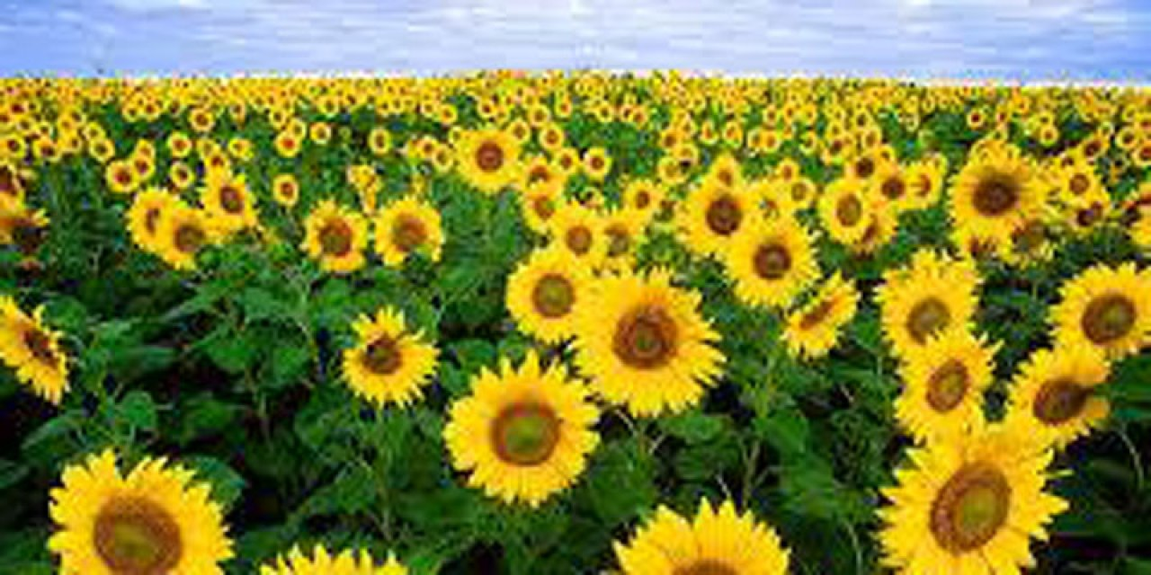 The #SunflowerProject @stephaniedale22 comments