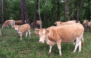 Cows roaming through forests near Prayssac, le Lot.
