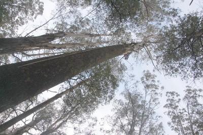 Mountain Ash in Victoria's Central Highlands. Photo: John Englart