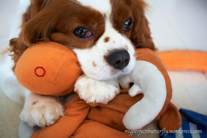 img 4252 1 Living With The Cavalier King Charles Spaniel Jamie Chan