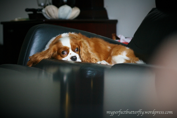A cavalier king charles on a leather sofa