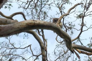 Lazy koala!