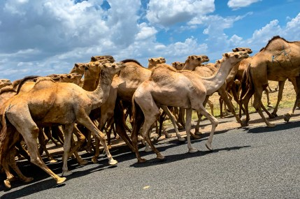 A caravan of camels in Kenya