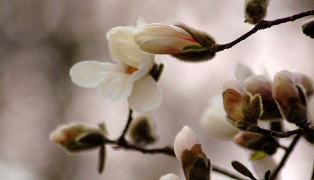 TripodGirl_magnolia_tree3-w