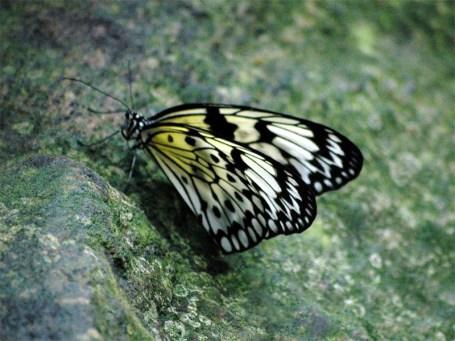 TripodGirl_butterfly_yellow800
