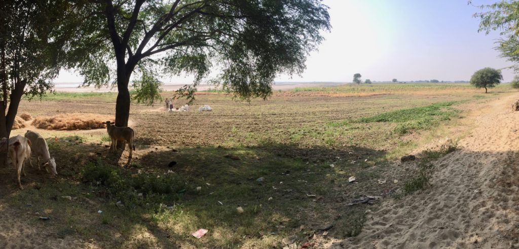 Cows grazing in the dry river bed of the Irrawaddy River beside Yenangyaung