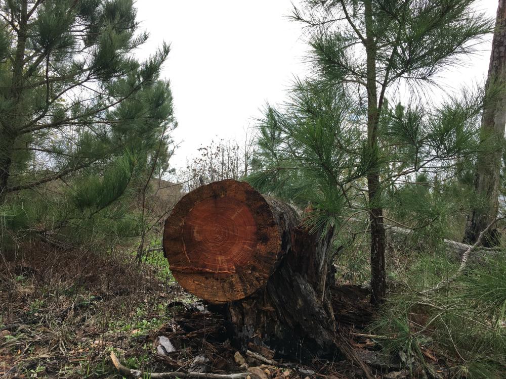 batrop state park, burnt tree