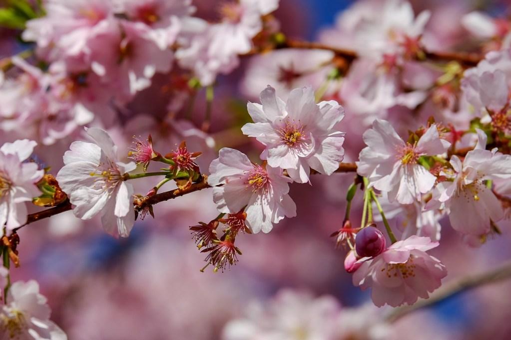 西行の見ていた景色【西行桜】