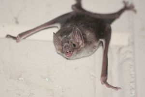 Common_vampire_bat,_Desmodus_rotundus