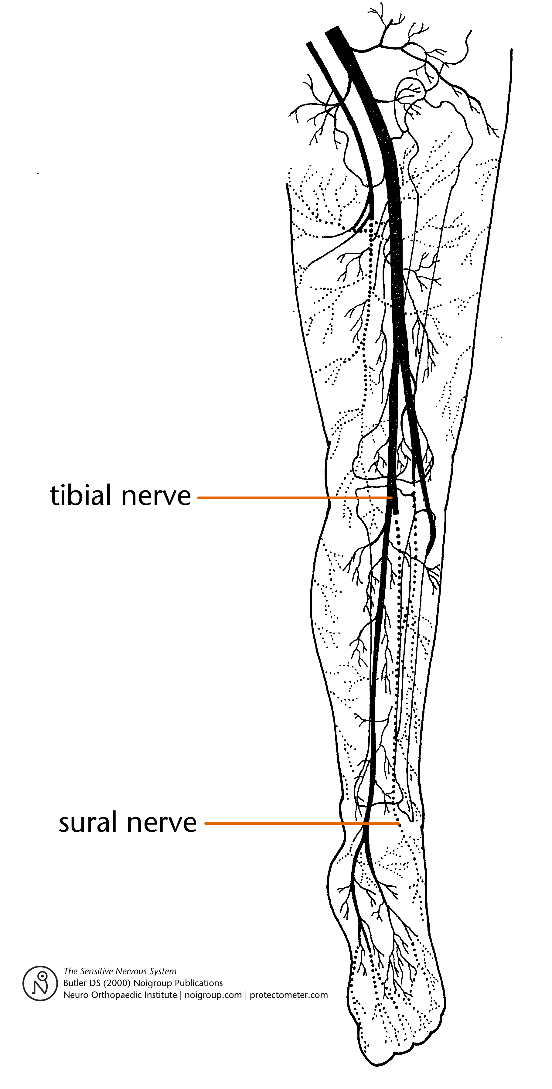 The Sural Nerve The Appendix Of The Nervous System