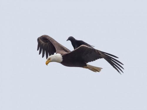 5_crow-rides-eagle-bird-photography-phoo-chan-3