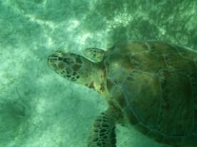 Sea Turtle Dude 1
