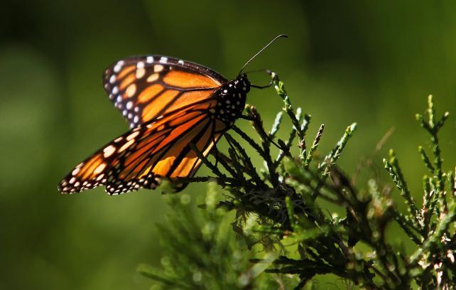 Bilim insanları kelebeğin kanatlarındaki renk ve desenleri değiştirdi