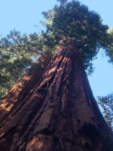 Calaveras Big Tree National Park