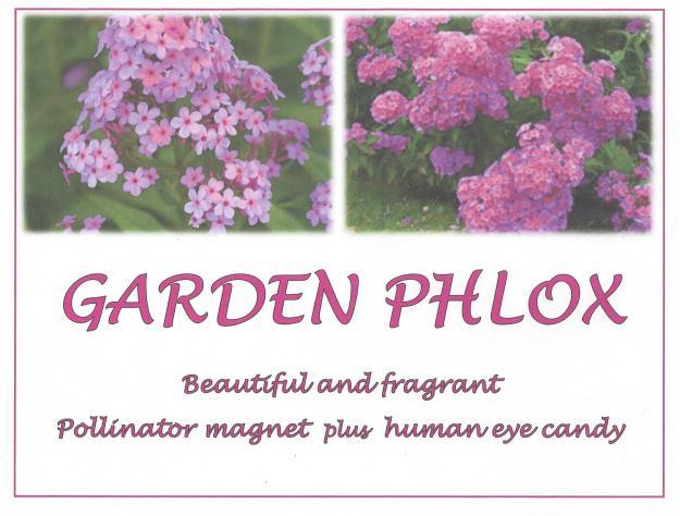 Beautiful Garden Phlox